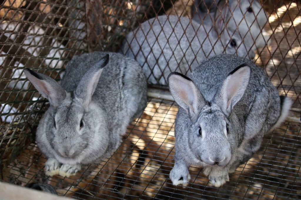Arizona definitely is a unique place to raise meat rabbits. The hot summers make outdoor rabbit husbandry difficult, but not impossible.