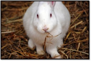 one of the white rabbits Buying Rabbits