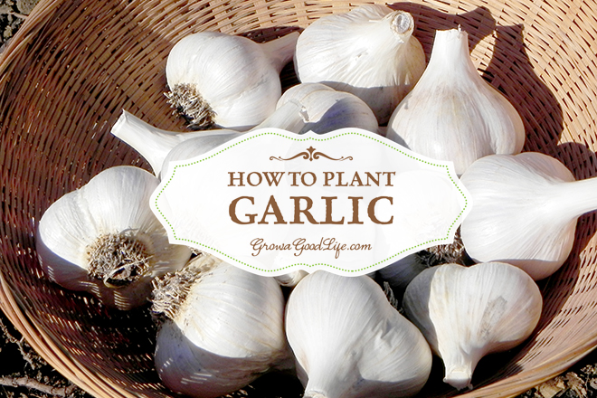 Growing Garlic on Your Homestead