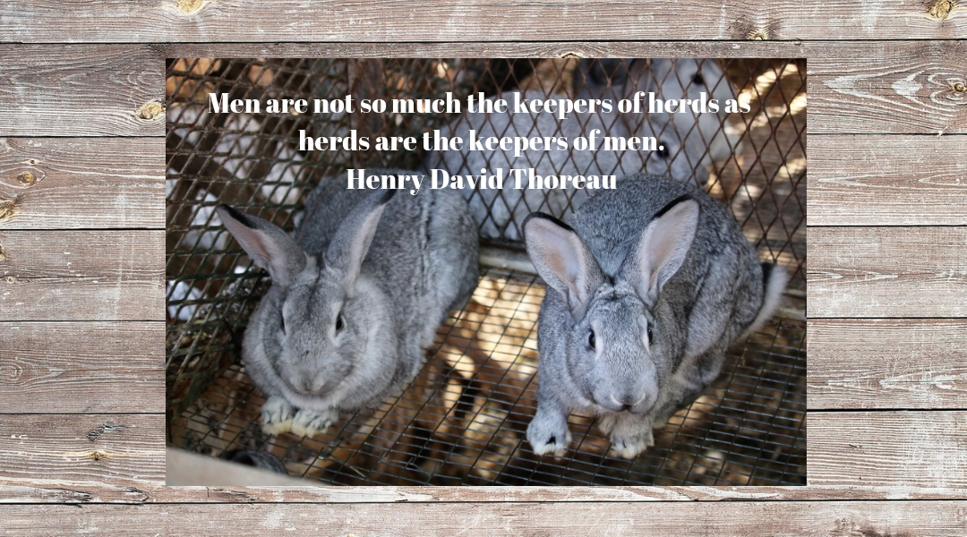 rabbit revinue Men are not so much the keepers of herds as herds are the keepers of men. Henry David Thoreau