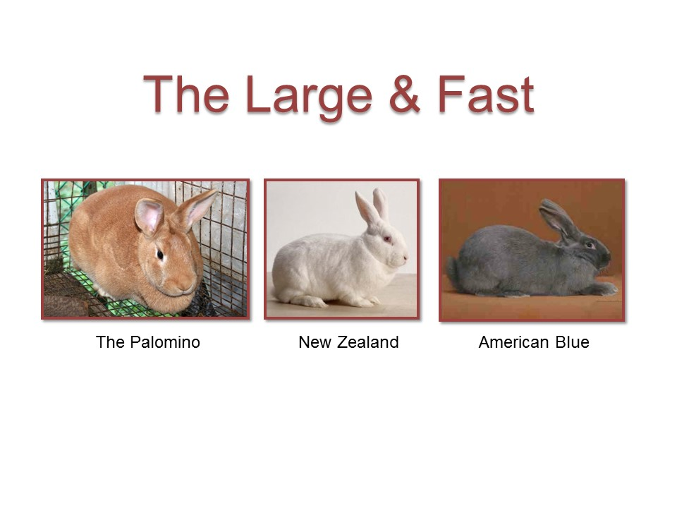 Meat Rabbit Breed Selection Hostile Hare Rabbits For