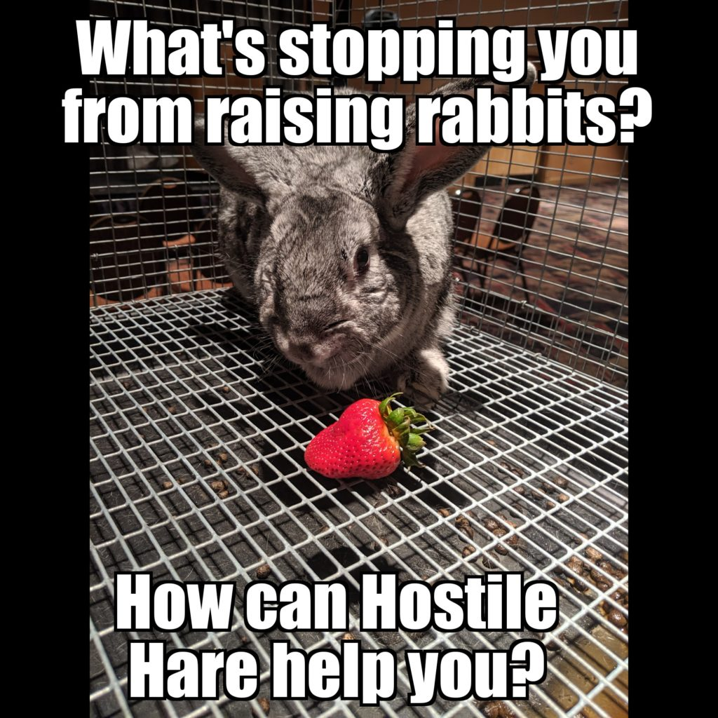 Urban Meat Rabbit Farming with American chinchilla fur doe